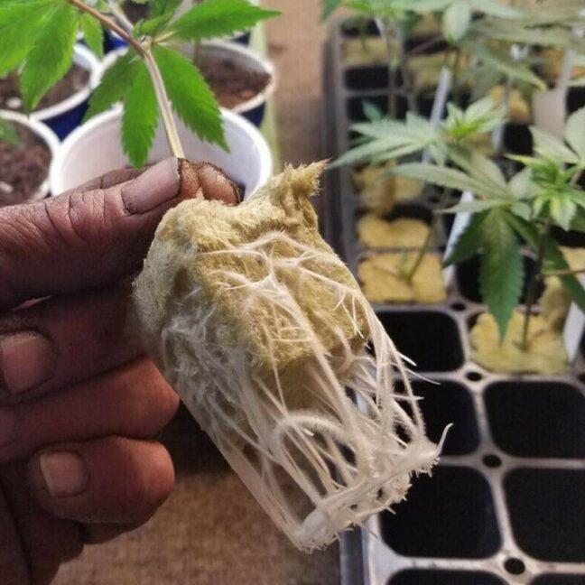 grow-konoplya