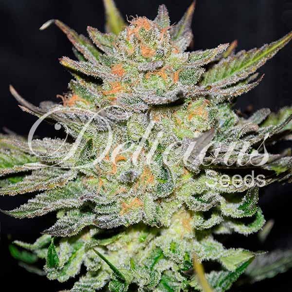 Auto Blue Ace CBD (Delicious Seeds) – 3 fem.