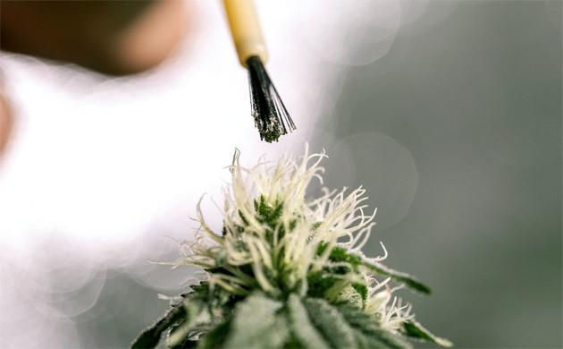 kak-opylyat-marihuanu