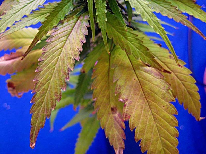perekorm-cannabisa