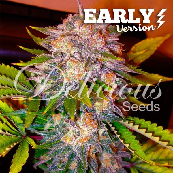 Caramelo Early Version (Delicious Seeds) - 3 fem.