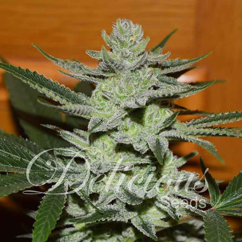 Unknown Kush (Delicious Seeds) - 7 reg.