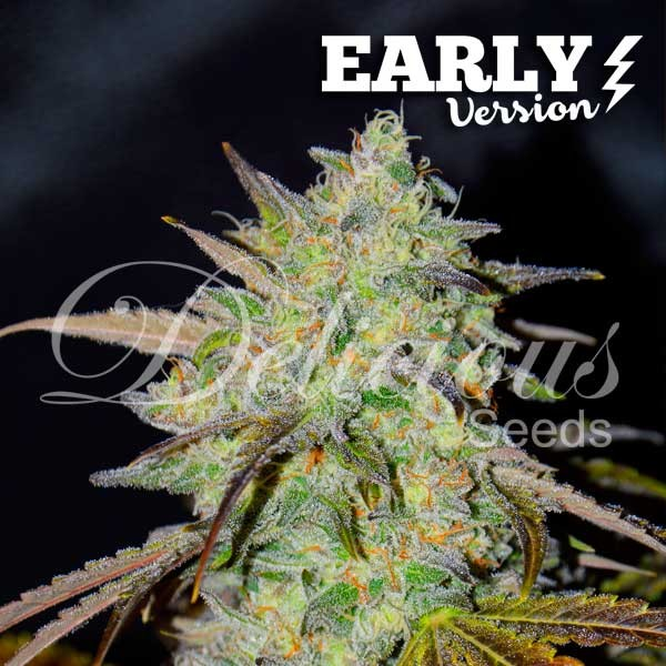Marmalate Early Version (Delicious Seeds) - 3 fem.