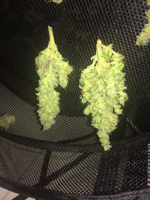 Afghan Airlines Auto (Black Stealth Company) - 3 fem.