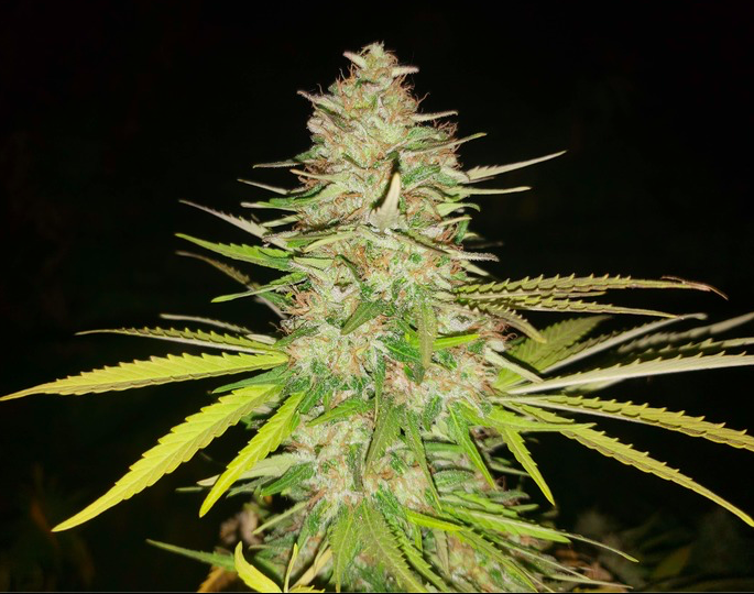 Bubble Gum (Black Stealth Company) - 3 fem.